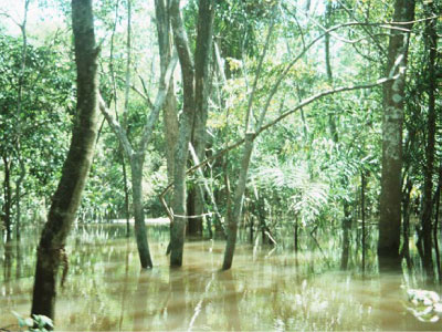 A flooded forest in the Amazon